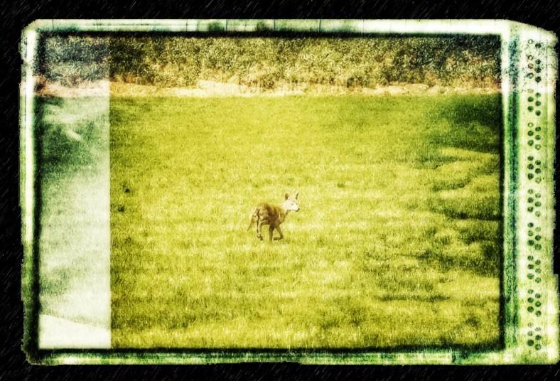 1860coyote
